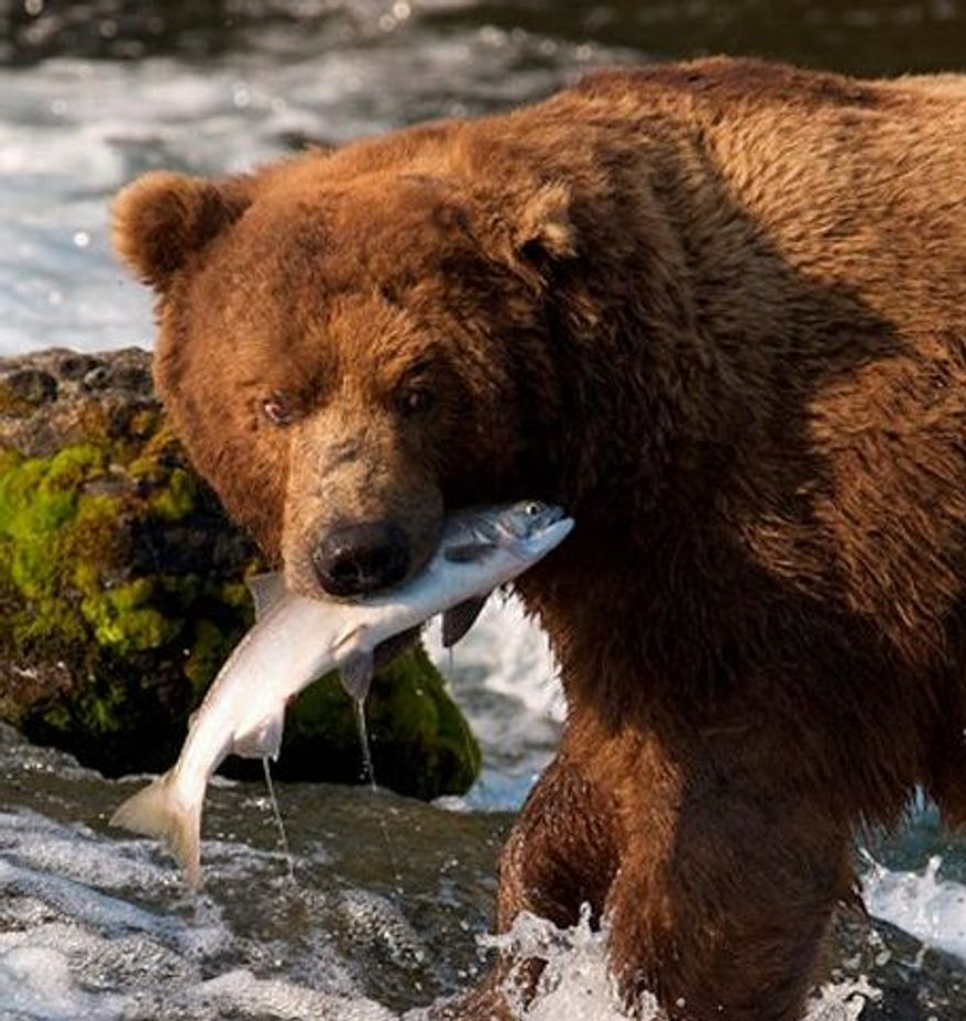 In this photo provided by explore.org, a brown bear catches a salmon at Brooks Falls, Katmai National Park in Alaska. A new video initiative will bring the famed brown bears of the park directly to your computer or smartphone. In a partnership with explore.org, a live webstream will be unveiled Tuesday that will allow the public to log on and see the brown bears in their natural habitat, including views of the bears catching salmon at Brooks Falls. (Explore.org via Associated Press)