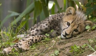 One of two, 3-month-old cheetah cubs rests in the shade while on public view at the National Zoo, in Washington, on Saturday, July 28, 2012. The cubs are trying out their first week on limited view to the public. (AP Photo/Jacquelyn Martin)