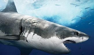 """Shark Week"" celebrated 25 years on the air in 2012. (Courtesy of Discovery Channel)"