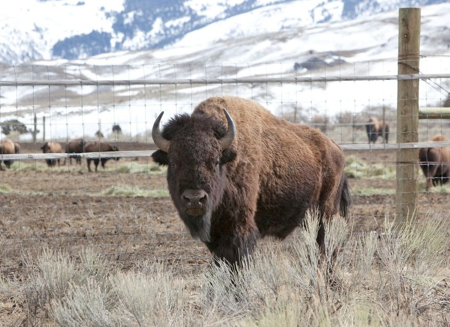 An effort to designate the American bison the National Mammal of the United States has drawn bipartisan support, led by a Missouri Democrat and a Nebraska Republican. It currently has the support of four congressmen and 17 senators. (Associated Press)