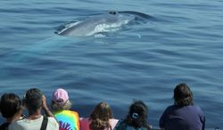 ** FILE ** In an undated photo provided Monday, Aug. 21, 2012, by Captain David Anderson's Dolphin and Whale Safari in Dana Point, Calif., spectators watch whales off the coast of southern California. (AP Photo/ Captain David Anderson's Dolphin and Whale Safari)