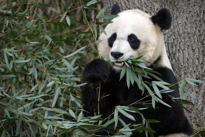 Mei Xiang, the female giant panda at the Smithsonian Institution's National Zoo in Washington, eats breakfast in December 2001. (AP Photo/Susan W
