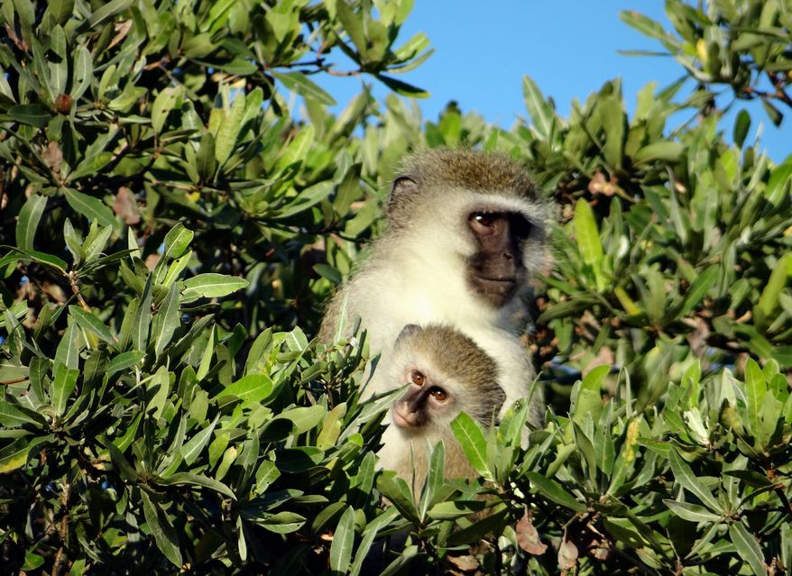An adult vervet monkey holds a young one in the trees at Phinda Private Game Reserve, near the town of Hluhluwe, in Kwazulu-Natal province, South Africa. (AP Photo/Matthew Craft)