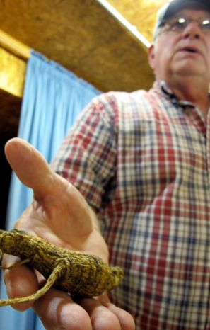 Don Dobbs, owner of Buckhorn Ginseng in Wisconsin, displays a wild ginseng root. The wild roots are believed to be more potent than cultivated roots and can be worth as much as $600 a pound, making them attractive to poachers. (Associated Press)