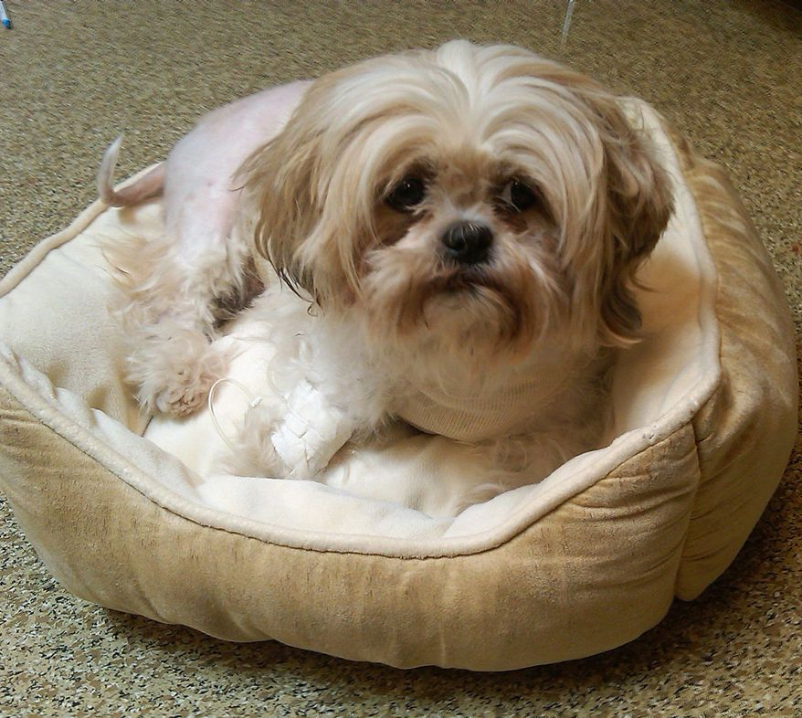 Coco, a 2-year-old Shih Tzu, is recovering after being stabbed seven times at a home in Southeast on Sept. 21. The knife cuts missed vital organs. The dog is now in a foster home. (Washington Humane Society)