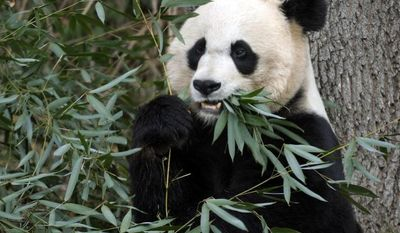 Mei Xiang, the female giant panda at the Smithsonian Institution's National Zoo in Washington, eats breakfast in December 2001. (AP Photo/Susan Walsh)