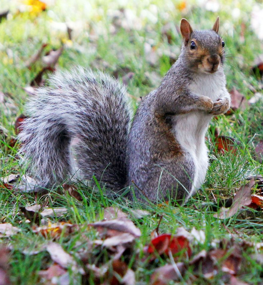 A gray squirrel strikes a pose in Montpelier, Vt. Biologists say a variety of natural forces have combined to produce an overabundance of squirrels in Vermont and some other states. But the population explosion may not last. (Associated Press)