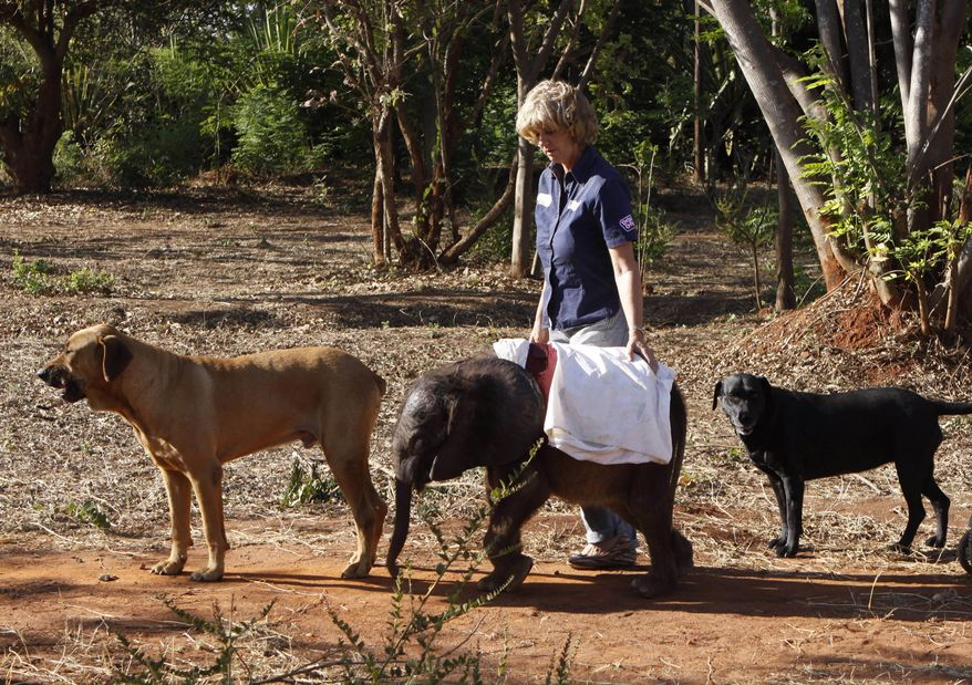 Moses, a seven-month-old orphaned elephant calf, takes his daily walk Oct. 8, 2012, with Jumbo Foundation owner Jenny Webb and pet dogs Barney (left) and Bagheera at their home in Lilongwe, Malawi. Moses was found alone and close to death in the Vwaza Wildlife Reserve. He has been adopted by the Jumbo Foundation, where he is being cared for and raised by humans. (Associated Press)