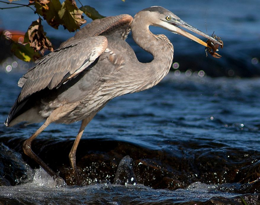 A Great Blue Herring catches a crawfish along the banks of the Great Falls of the Potomac River, Fairfax County, Va. Oct. 24, 2012 (Craig Bisacre/The Washington Times)
