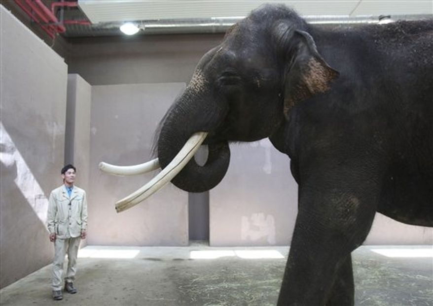 Koshik, a 22-year-old Asian elephant, puts his trunk in his mouth to modulate sound next to his chief trainer, Kim Jong-gab, at the Everland amusement park in Yongin, South Korea, on Friday, Nov. 2, 2012. Koshik can reproduce five Korean words by tucking his trunk inside his mouth to modulate sound. (AP Photo/Ahn Young-joon)