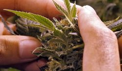 ** FILE ** A worker inspects a marijuana plant at a grow house in Denver in this Nov. 11, 2012, file photo. (Associated Press)