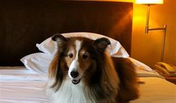 """In this May 2011 photo provided by Sheron Long,  Chula, a 30-pound Shetland sheepdog and veteran traveler, rests on a bed in the Sheraton Hotel at the Charles de Gaulle Airport, after a long flight from San Francisco to Paris, France. Travel for humans during holidays is tough enough: Long lines, crowds everywhere, extra bags full of presents. Throw a pet in the mix, and it's a recipe for disaster. Long is the author of """"Dog Trots Globe - To Paris and Provence."""" (AP Photo/Sheron Long)"""