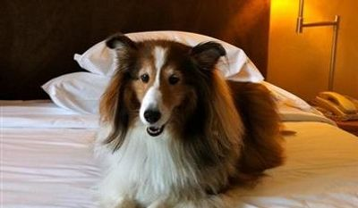 "In this May 2011 photo provided by Sheron Long,  Chula, a 30-pound Shetland sheepdog and veteran traveler, rests on a bed in the Sheraton Hotel at the Charles de Gaulle Airport, after a long flight from San Francisco to Paris, France. Travel for humans during holidays is tough enough: Long lines, crowds everywhere, extra bags full of presents. Throw a pet in the mix, and it's a recipe for disaster. Long is the author of ""Dog Trots Globe - To Paris and Provence."" (AP Photo/Sheron Long)"