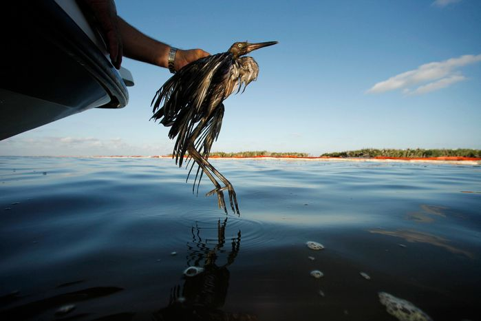 Plaquemines Parish Coastal Zone Director P.J. Hahn rescues a heavily oiled bird from the waters of Barataria Bay, which are laden with oil from the D