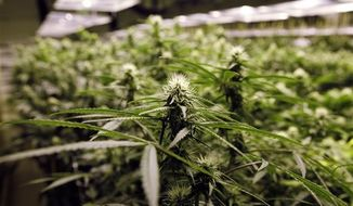 ** FILE ** Marijuana plants flourish under the lights at a grow house in Denver on Thursday, Nov. 8, 2012. (AP Photo/Ed Andrieski)