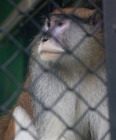 A Patas monkey looks out of his cage at Zoo Boise after his cage mate was severely injured and died in Boise, Idaho on Saturday, Nov. 17, 2012. Police are investing an early morning break-in at at the zoo. The injured monkey was found shortly after suspects were spotted and ran off. (AP Photo/The Idaho Statesman, Katherine Jones)
