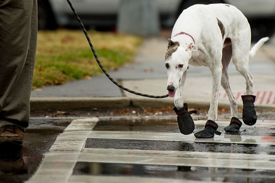 Loki, a retired racing greyhound wears dog boots in the rain as his owner, Dave Mosick of Washington, D.C., walks him in the rain on Capitol Hill, Washington, D.C., Tuesday, November 27, 2012. (Andrew Harnik/The Washington Times)