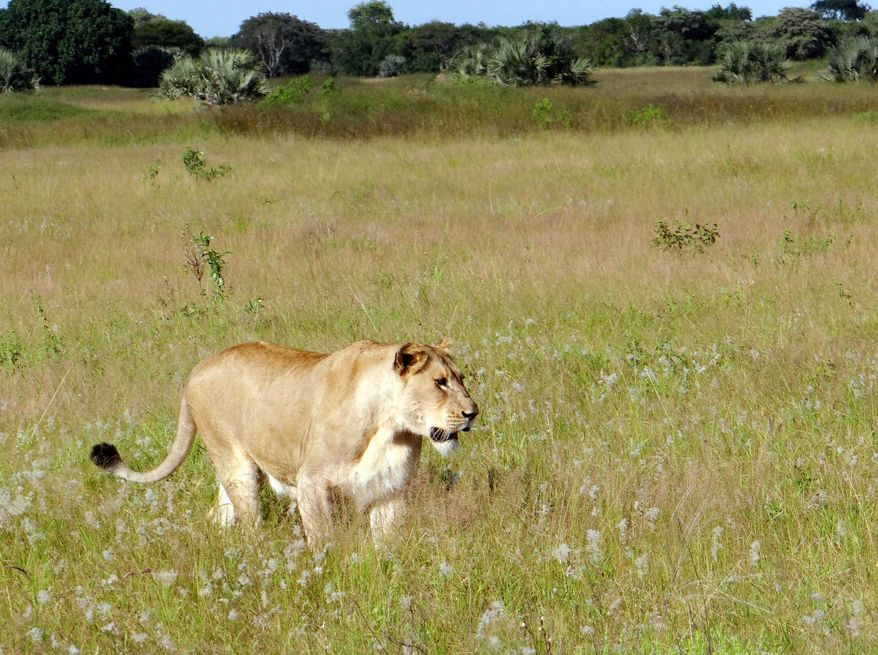A lioness walking through the tall grass in the Phinda Private Game Reserve, near Hluhluwe, South Africa. An ever-growing human population has moved into savannah lands to settle and develop the areas where lions roam. (Associated Press)