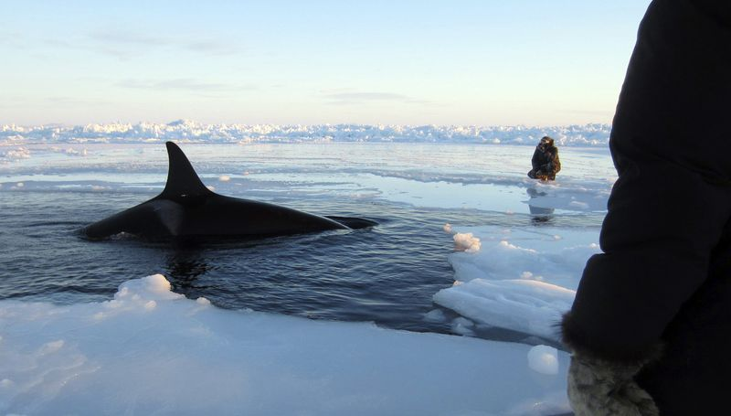 In this Tuesday, Jan. 8, 2013, photo provided by Marina Lacasse, a killer whale surfaces through a small hole in the ice near Inukjuak, in Northern Quebec. (AP P