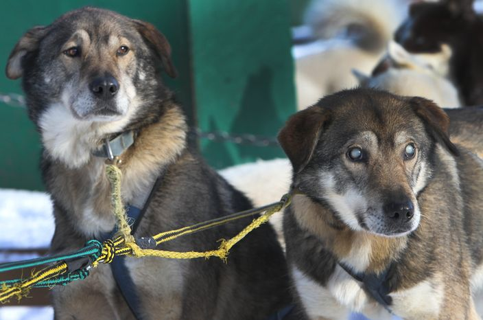 Sled dogs Poncho, left, and his blind brother Gonzo are hooked up for a run at the Muddy Paw Sled Dog Kennel, in Jefferson, N.H. Poncho has taken to helping his blind brother on regular runs. (AP Photo/Jim Cole)