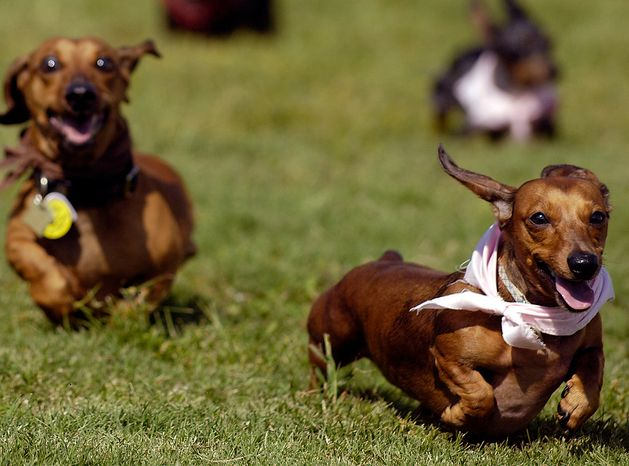 Dachshund Molly, right, cuts in front of last year's winner Longfellow to take one of the top three spots in a run off during the Annual Savannah Weiner Dawg Race on historic River Street, Saturday Oct. 4, 2008 in Savannah, Ga. (AP Photo/Stephen Morton)