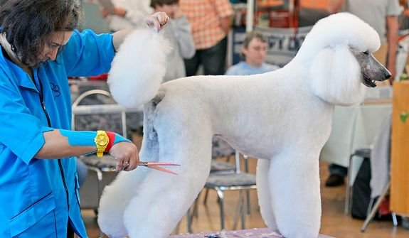 Natascha Kolbe of Germany cuts the hair of a large poodle during the dog-salon competition at the international dog-grooming championship in Stadtroda, central Germany, on Sunday, Oct. 7, 2012. (AP Photo/Jens Meyer)