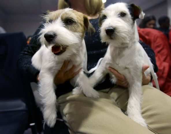 Madison, left, and Pepper, both Russell Terriers, sit on their owners lap before a news conference in New York, Monday, Jan. 28, 2013. Russell Terriers are one of two breeds competing for the first time this year in the 137th Westminster Kennel Club Dog Show, which starts on Feb. 11, 2013. (AP Photo/Seth Wenig)
