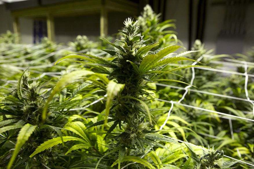 Marijuana plants at a grow house in Denver are ready to be harvested on Saturday, Jan. 26, 2013. (AP Photo/Ed Andrieski)