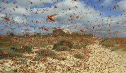 **FILE** Locusts fly on to Fuerteventura Island, in the Spanish Canary Islands, on Nov. 29, 2004. The locusts have flown 100 kilometers (60 miles) across the ocean after a infestation that wreaked havoc in North Africa. (Associated Press/EFE)