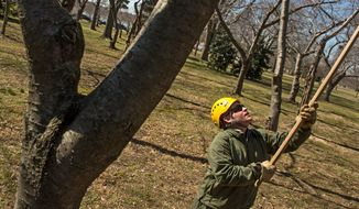 James Mitchell, with the National Park Service, prunes back cherry blossom trees at the Tidal Basin on Monday. The Park Service spends about $185,000 on the festival. (Andrew Harnik/The Washington Times)