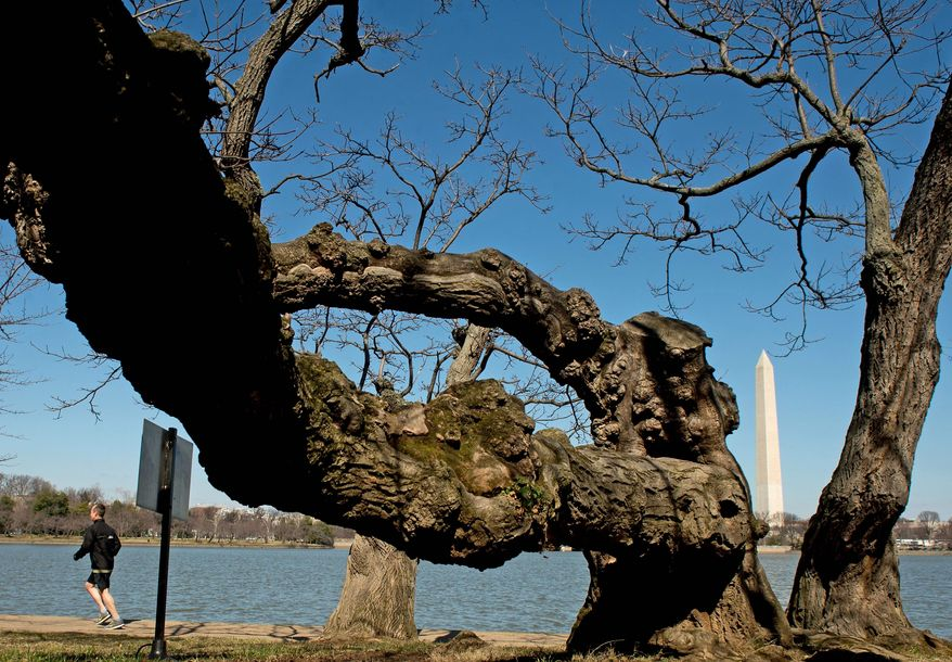 National Park Service officials announce that the peak bloom period for Washington's cherry blossom trees around the Tidal Basin is expected to be between March 26 and March 30. (Andrew Harnik/The Washington Times)