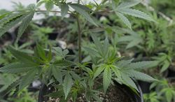 **FILE** A bar code is seen attached to a marijuana plant at a grow house in Denver on Jan. 26, 2013. The bar codes are assigned to each plant and follow it through the growing and distribution process. (Associated Press)