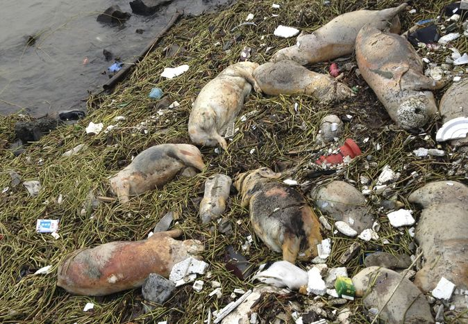 Dead pigs are strewn along the riverbanks in the Songjiang district of Shanghai on Thursday, March 7, 2013. Chinese officials say they have fished out 900 dead pigs from the river, which is a water source for residents. (AP Photo)
