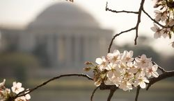 Pink and white blossoms are shown on cherry trees around the Tidal Basin with the Jefferson Memorial in the background on March 15, 2012. Wintry weather delayed the annual blossoming this year. (The Washington Times)