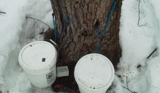 An illegally tapped maple tree is pictured in northern Maine on Tuesday, March 12, 2013. Forest rangers say the illegal tappers are damaging valuable maple trees before they are harvested for lumber. (AP Photo/Maine Forest Rangers)
