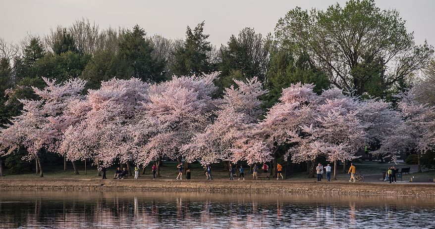 Tourists flock to the Tidal Basin to photograph the morning sun reflecting off of the water into the cherry blossoms, in Washington, DC., Thursday, April 11, 2013. (Andrew S Geraci/The Washington Times)