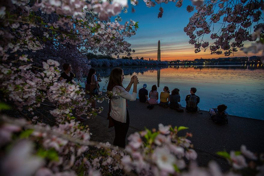 Visitors take pictures and watch the sunrise around the cherry blossoms at the Tidal Basin, in Washington, DC., Thursday, April 11, 2013. (Andrew S Geraci/The Washington Times)