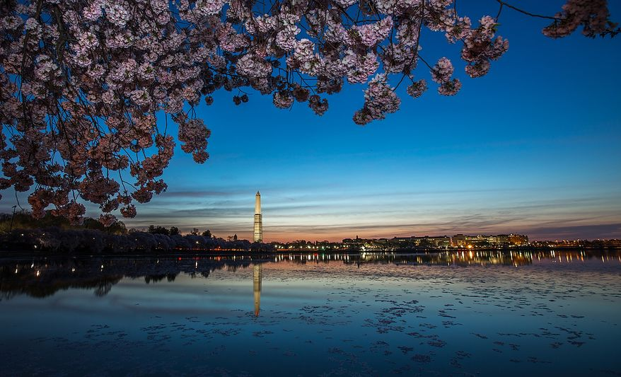The Washington Monument, covered by scaffolding, lights up in the early morning sun, while cherry blossoms around the tidal basin bloom, in Washington, DC., Thursday, April 11, 2013. (Andrew S Geraci/The Washington Times)