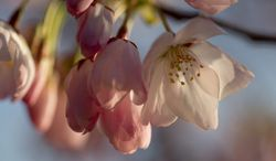 Cherry blossoms begin to open on the branches of the famous Yoshino cherry trees along the Tidal Basin, Sunday, April 7, 2013, in Washington. Peak blossom time has been postponed by chilly weather. (AP Photo/Carolyn Kaster)