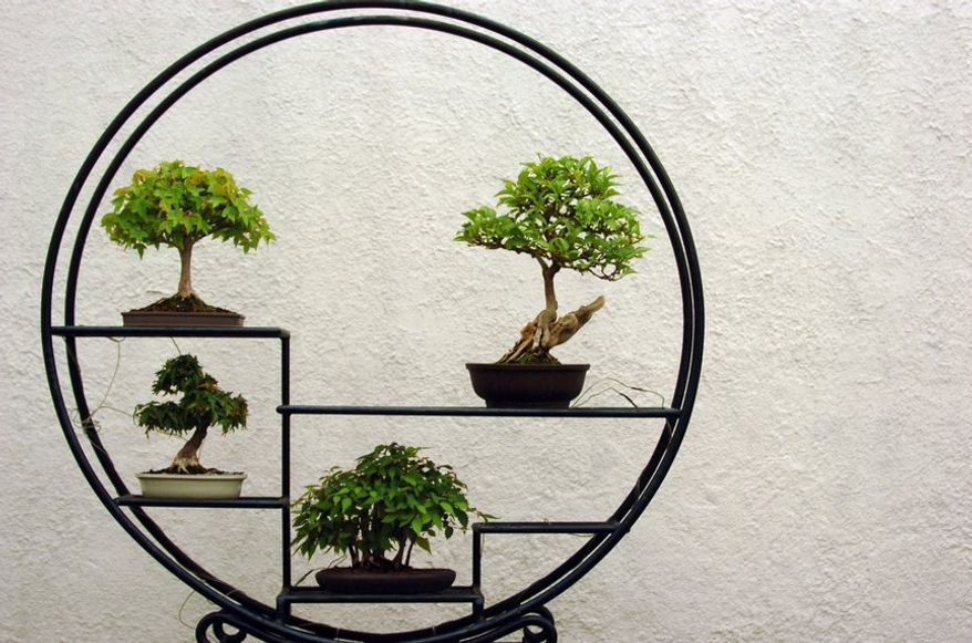 The Bonsai collection, including clockwise from top right: Japanese Zelkova, Japanese Premna, Japanese Maple and Trident Maple,  is on display at the National Arboretum in Washington, DC Thursday May 11, 2006.   ( Maya Alleruzzo /  The Washington Times )