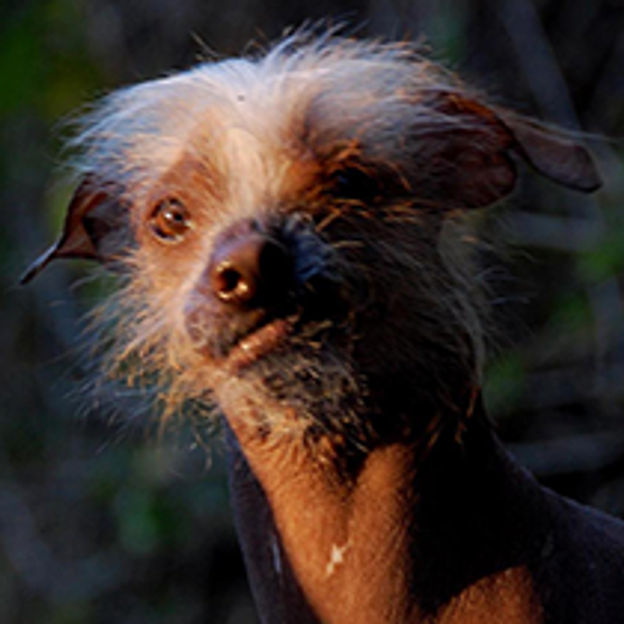 Icky is a rescue from Butte County who resides in his forever home in Davis, Calif. (Credit: World's Ugliest Dog Competition)