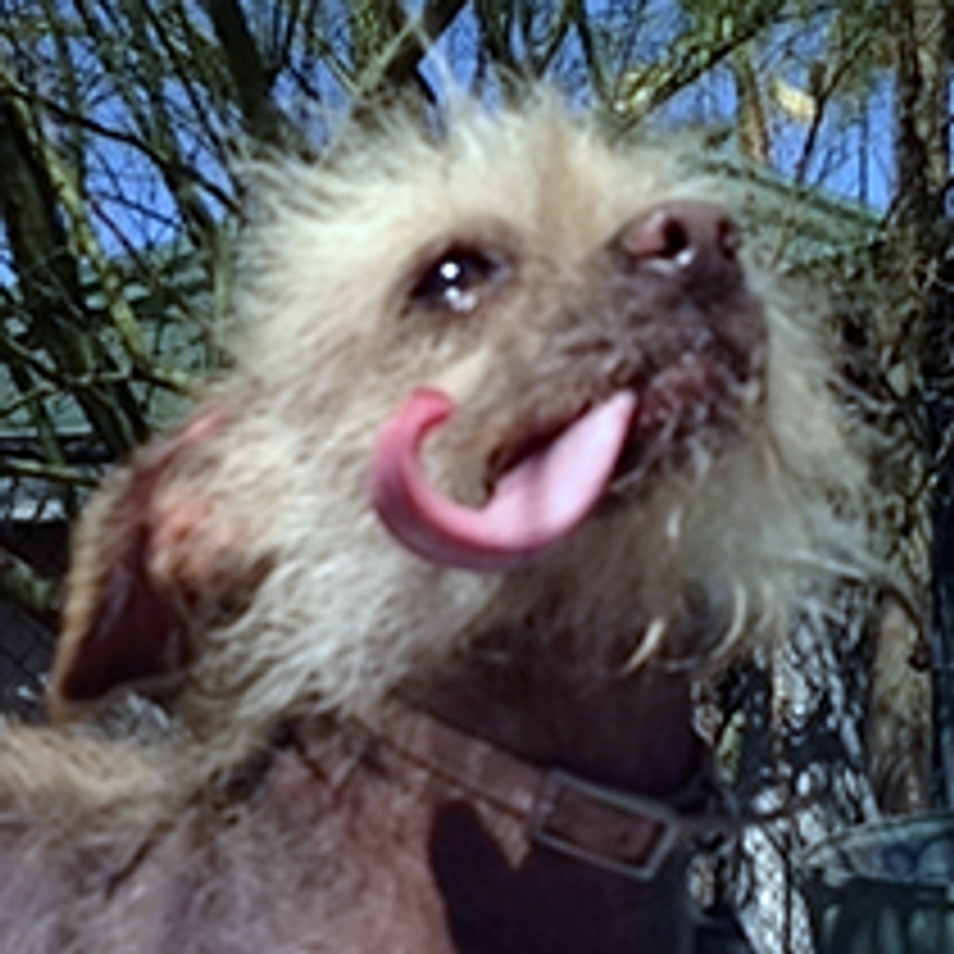 "Josie has been working on her ""ugly"" for another year and comes back to try for WUD again. (Credit: World's Ugliest Dog Competition)"