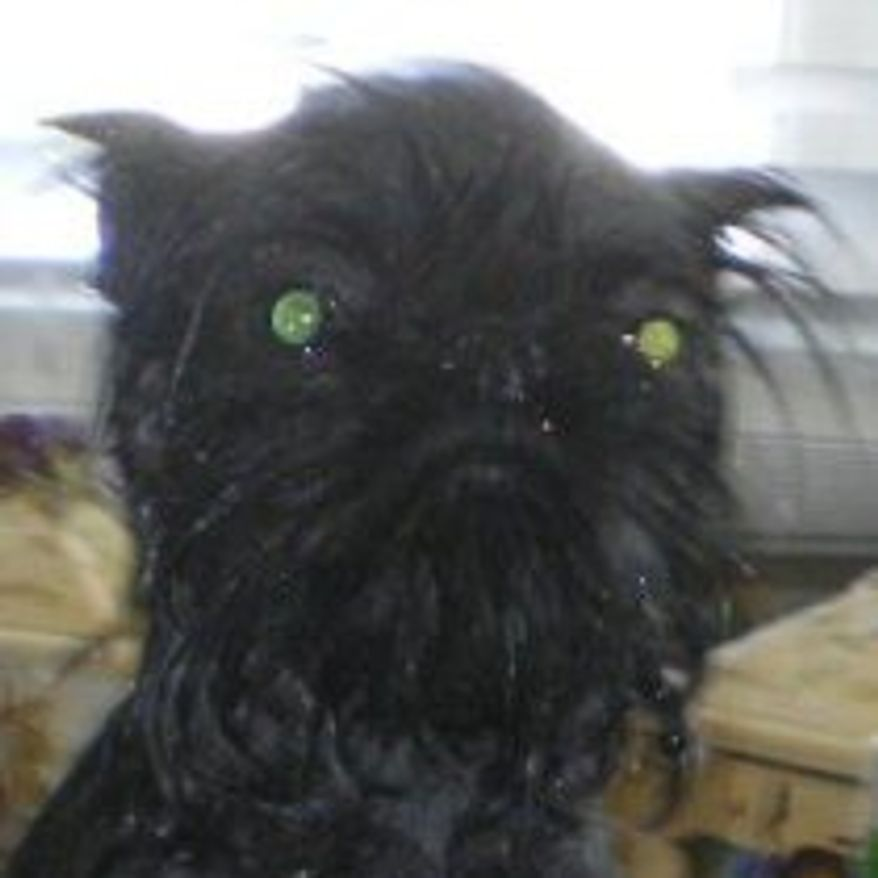 Can this really be a dog? Monkey is a 1 year old Chinese Crested / Brussels Griffon mix. (Credit: World's Ugliest Dog Competition)
