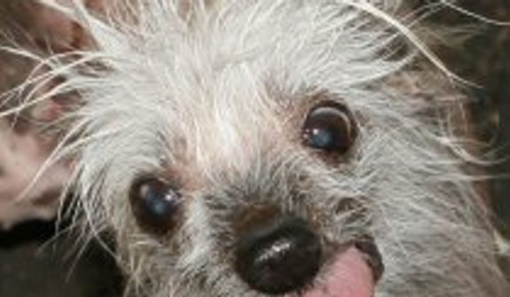 "Rascal is the original 2002 World's Ugliest Dog winner and ""Ring of Champions"" title holder who is ready to come back and challenge the ugliest of the ugly. (Credit: World's Ugliest Dog Competition)"