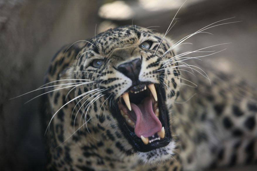 **FILE** A leopard growls from inside a cage at a wildlife park in Jammu, India, on April 18, 2013. (Associated Press)