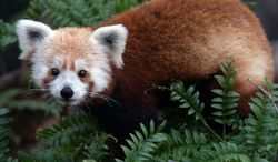 Rusty, a red panda at the National Zoo, went missing at about 6 p.m. Sunday, officials said.