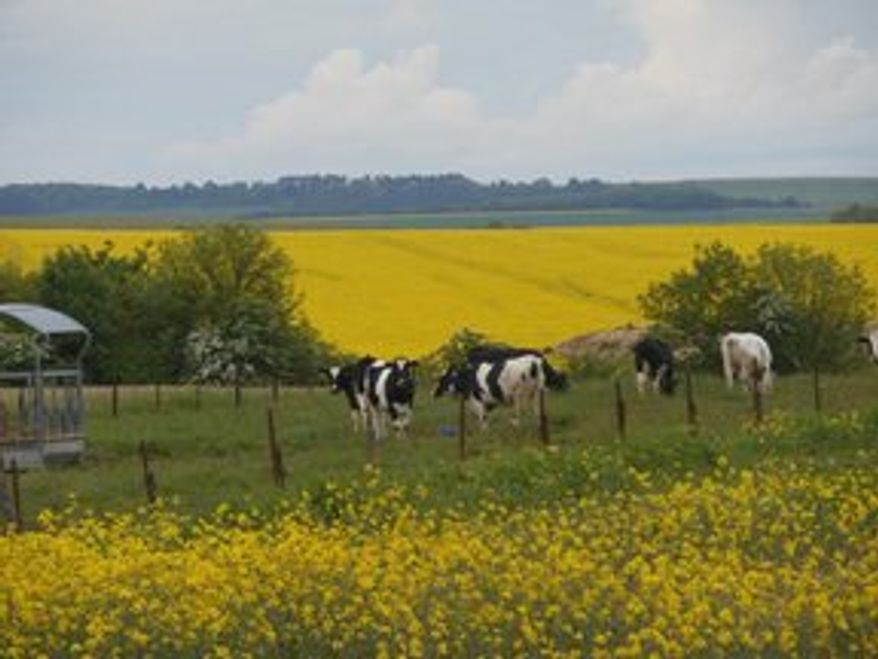 Charolais cows and fields of rapeseed (Corinna Lothar)