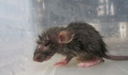 This Dec. 2012 photo shows a weak and lethargic rat who was found in a tub among at least 200 other juvenile rats, many of whom were severely dehydrated and dying at a breeding center in Lake Elsinore, Calif., authorities said Monday, July 22, 2013. Riverside County authorities say two men have been charged with 106 counts of felony animal cruelty for the way they treated nearly 20,000 rats and reptiles found diseased, dying or dead. (AP Photo/PETA)