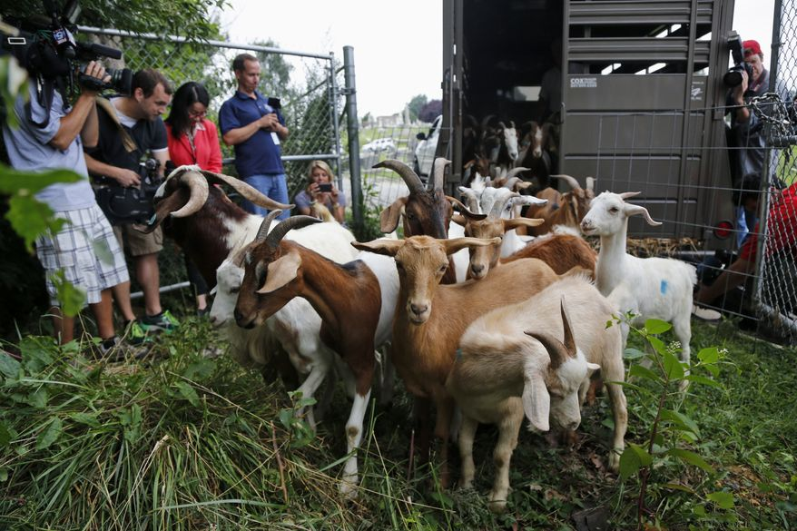 """Reporters photograph goats as they are released from a trailer at Congressional Cemetery in Washington, Wednesday, Aug. 7, 2013. More than 100 goats will be taking over Washington's Historic Congressional Cemetery to help clean up brush in an area away from the graves. The goats will graze 24 hours a day for six days to eliminate vines, poison ivy and weeds, while also """"fertilizing the ground."""" (AP Photo/Charles Dharapak)"""