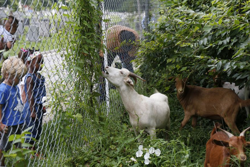 "Children watch as goats graze in a fenced-off area at Congressional Cemetery in Washington, Wednesday, Aug. 7, 2013. More than 100 goats will be taking over Washington's Historic Congressional Cemetery to help clean up brush in an area away from the graves. The goats will graze 24 hours a day for six days to eliminate vines, poison ivy and weeds, while also ""fertilizing the ground."" (AP Photo/Charles Dharapak)"